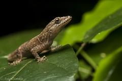 Gonatodes Gecko (antonsrkn) Tags: gonatodes humeralis gecko lizard reptile herp herpetology peru macro portrait vegetation leaf scales cute nature jungle forest animal nikon nikkor flash green female bridled biology science