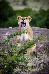 Be a Lion (_Hadock_) Tags: lion leon nature naturaleza wild salvaje roar rugido angry enfadada leona mouth teeth boca dientes wallpaper walpaper fondo de pantalla screensaver desktop creative commons comons full hd nikon d750 tamron 70300