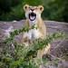 Be a Lion