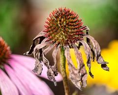 Beauty in decay (sasastro) Tags: seeds decay flower autumn coneflower echinacea pentaxk5iis pentaxda55300mm