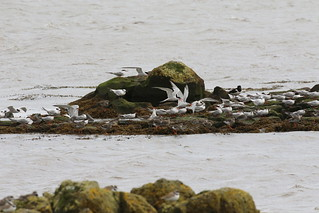 Blackness Castle high tide roost