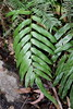 Blechnum gregsonii (Poytr) Tags: blechnaceae blechnum blechnumgregsonii rareplant rarefern bluemountainsnationalpark bluemountains lawsonnsw lawson arfp nswrfp arffern fern rainforest worldheritagesite vulnerable gleichenia plant