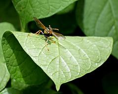 I'm an airplane! (mariposa lily) Tags: insect insects flyinginsect flyinginsects bug bugs yellowjacket yellowjackets wasp wasps nikon nikond3300 d3300