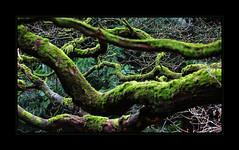 Mystic Green (richieb56) Tags: natur nature tree branch ast baum zweig grün moos wald england herefordshire winter mystic dark fairytale märchen book story greatphotographers
