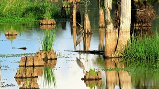 Reflections in a Swamp (and a heron)