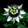 Flor de la Pasión/Pasion flower