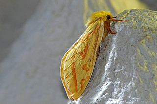 Hepialus humuli - the Ghost Moth (female)