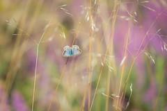 a flash of blue (Emma Varley) Tags: butterfly common blue female heather heathland heath grass bokeh colourful bright summer sullington warren west sussex
