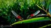 Libelulas (alfamh) Tags: libélula pareja rayosdesol michoacan miguelmh jacona atardecer alfamh