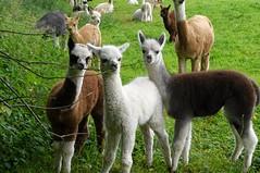 2017-08-20_08-14-46 (maggiejames1) Tags: alpaca farm hampshire
