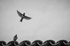 The launch (The Frustrated Photog (Anthony) ADPphotography) Tags: animalsbirdsinsects art birds category composite eskisehir flickrpost odunpazari places travel turkey nature takeoff launch flight inflight birdinflight sparrows canon1585mm canon70d canon outdoor rooftops wall