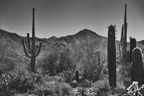 Saguaro Cactus with a Backdrop of the Tucson Mountains (Black & White, Saguaro National Park)