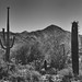 Saguaro Cactus with a Backdrop of the Tucson Mountains (Black & White, Saguaro National Park)