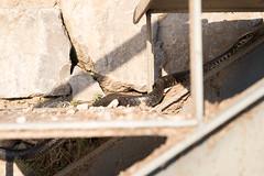 Fleeing snake | Varenna evening-9 (Paul Dykes) Tags: varenna lombardy lombardia italy italia lakecomo lagodicomo eveninglight evening snake viper regurgitation