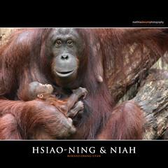 HSIAO-NING & NIAH (Matthias Besant) Tags: affe affen affenblick affenfell animal animals ape apes fell hominidae hominoidea mammal mammals menschenaffen menschenartig menschenartige monkey monkeys primat primaten saeugetier saeugetiere tier tiere trockennasenaffe orangutan orangutang orangoutang querformat sitzen schauen blicken blick gucken look looking borneoorangutan borneanorangutan zoo zoorostock surya matthiasbesant matthiasbesantphotography jungtier baby tierbaby affenbaby niah hsiaoning deutschland