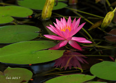 Pink Water Lily 3  8-13-17 (Cal-Photo) Tags: nature wildlife tennessee middletennessee flower pinkwaterlily discoverycenter