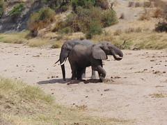 DSC00124 (francy_lioness) Tags: zebra giraffa elefante leonessa bufalo leoni lions tarangirenationalpark parks tanzaniasafari safari africasafari