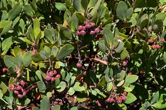 Arctostaphylos crustacea ssp. crustacea (A. tomentosa ssp. c.), BRITTLE-LEAVED MANZANITA. (openspacer) Tags: arctostaphylos berry ericaceae jasperridgebiologicalpreserve jrbp manzanita