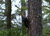Pileated Woodpecker (WpgWafna) Tags: ontario ontarioparks siouxnarrows provincialparks nature wildlife canada