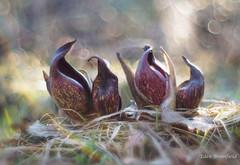 Resurgence of the Skunk Cabbage (Symplocarpus foetidus) (Eden Bromfield) Tags: symplocarpusfoetidus easternskunkcabbage nature flowers wetland snow frozen heat pungent bokeh oreston meyeroptik canada ice rainbowflare