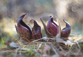 Resurgence of the Skunk Cabbage (Symplocarpus foetidus)
