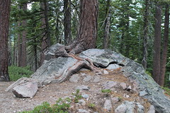 Its amazing to see trees grow in solid rock (rozoneill) Tags: lassen volcanic national park chaos crags crag lake manzanita wilderness hiking california redding