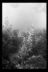 Small thing, big thing (Other dreams) Tags: nature landscape detail weed cobweb web spider autumn fall indiansummer weeds grass plants water reflection fog mist dew sunlight npk nadwiślańskiparkkrajobrazowy normallens nofilter dolinadolnejwisły vistulalandscapepark lowervistula pomerania poland bw film analog analogue fomapan200 helios81n