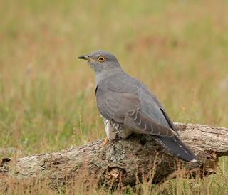 Cuckoo-6098