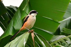 Long-tailed Shrike 棕背伯勞 (Jeffreycfy) Tags: shrike birds birding animals wildlife nature nikon d500 nikkor200500mmf56e lanidae laniusschach 伯勞科 鳴禽