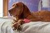 On the Mend (backbeatb00gie) Tags: nadia bandage bed bedroom d5000 dog nikon pet sick vizsla littledoglaughedstories