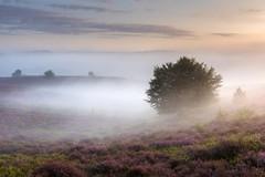 Mist, tree, heather... magic (Sander Grefte) Tags: heath heather tree trees hills hill boom mist misty mistig mistical landscape landschap sunrise light goldenhour goldenlight sfeer sfeervol