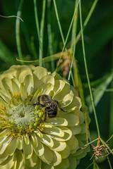 _DSC0389 (johnjmurphyiii) Tags: 06107 bees connecticut elizabethpark garden insect originalnef summer tamron18400 usa westhartford flowers johnjmurphyiii macro