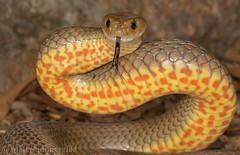 Eastern Brown Snake (Pseudonaja textilis) (Mattsummerville) Tags: easternbrownsnake pseudonajatextilis brownsnake reptile elapid venomous kuranda queensland wettropics snake texti australia defensive