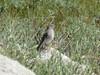 Mountain Bluebird, Tuolumne Meadows, 230817 (simondbradfield) Tags: mountainbluebird tuolumnemeadows sialiacurrucoides
