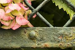 L'AMORE MALATO. (FRANCO600D) Tags: grata rust rusty ruggine fiore ortensia petali ringhiera colore gabbia amore amoremalato affetto macro canon eos600d franco600d