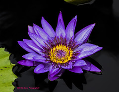 Tropical Day Flowering Lily. (rumerbob) Tags: tropicaldayfloweringwaterlily waterlily llly longwoodgardens flower floral flowergarden fauna botany botanicalgardens botanical canon7dmarkii canon100mmmacrolens
