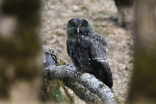 Great Gray Owl (Strix nebulosa) Immature