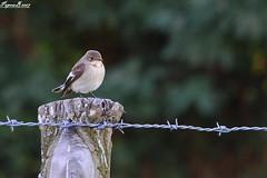 Gobe mouche / Flycatcher on a fence  HFF (BPBP42) Tags: oiseaux bird vogel nature animal fence