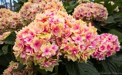 Hydrangea Flowers (J_Richard_Link) Tags: flowers hydrangea flora blossom naturephotograph outdoor availablelight naturallight flower closeup