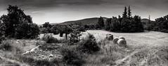 Provence 07 2017007 (Patrick.Raymond (3M views)) Tags: 04 haute provence valençole plateau lavande argentique mallefougasse lomography tmax horizon perfekt