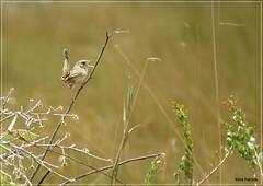Cistothorus platensis - corruíra-do-campo2 (Conexão Selvagem) Tags: observaçãodeaves serra canastra parque nacional cerrado aves bird wildlife galito rapina gavião nature natureza do avesdobrasil