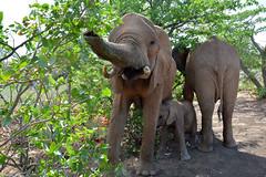 Desert Adapted Elephants in Damaraland - Namibia. (One more shot Rog) Tags: elephants elephant desertadaptedelephant desert namibia damaraland damaralandelephants safari trunk tusker rogersargentwildlifephotography onemoreshotrog animal nature wild wildlife rare endangered protect nikond7100 d7100