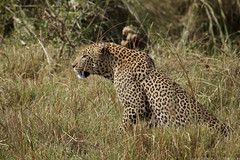 2014-07-20 @serengeti 5494 (- Stefano Benedetto -) Tags: safari tanzania pantheraparduspardus serengeti serengetinationalpark wildlife aftica africa