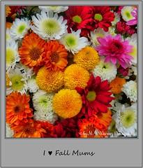 Chrysanthemum 14 (M.J.Woerner) Tags: november fallmums asteraceae chrysanths autumcolors postermums chrysanthemum autumflower