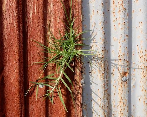 Determined Grass
