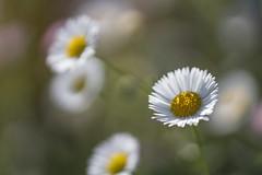 Spring Dream (S♡C) Tags: daisy erigeronphiladelphicus erigeronannuus