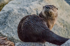 River Otter (zxorg) Tags: riverotter otter pacificnorthwest dundarave westvancouver bc canada