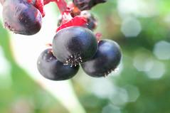 DSC (avflinsch) Tags: ifttt 500px pretty weed death berry poison poke pokeweed
