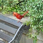 DSC09035  - Garden Cardinal thumbnail