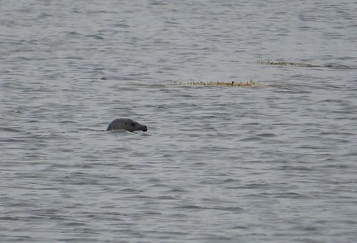 gray seal 2